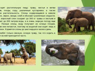 Слоны едят растительную пищу: траву, листья и ветви деревьев, плоды, кору, ра