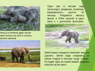 Один раз в четыре года происходит рождение слонёнка. Беременность длится 22 м