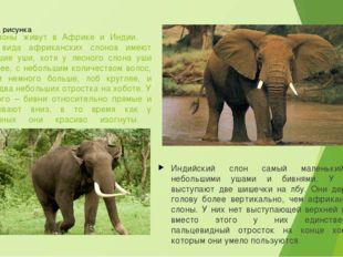 Слоны живут в Африке и Индии. Оба вида африканских слонов имеют большие уши,