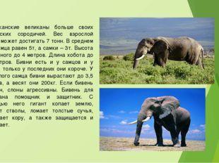 Африканские великаны больше своих индийских сородичей. Вес взрослой особи мож