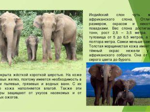 Индийский слон чуть меньше африканского слона. Отличается размером, окрасом и