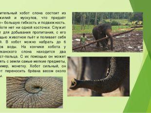 Удивительный хобот слона состоит из сухожилий и мускулов, что придаёт «носу»