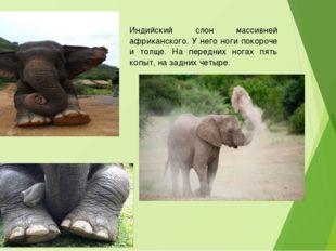 Индийский слон массивней африканского. У него ноги покороче и толще. На перед