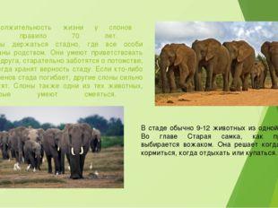 Продолжительность жизни у слонов как правило 70 лет. Слоны держаться стадно,
