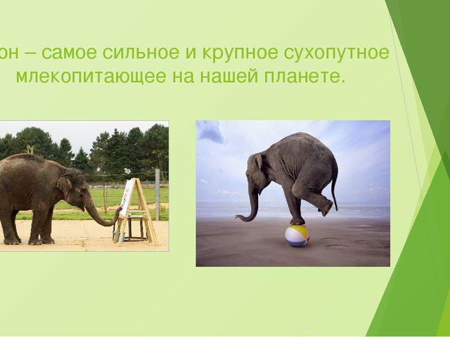 Слон – самое сильное и крупное сухопутное млекопитающее на нашей планете.