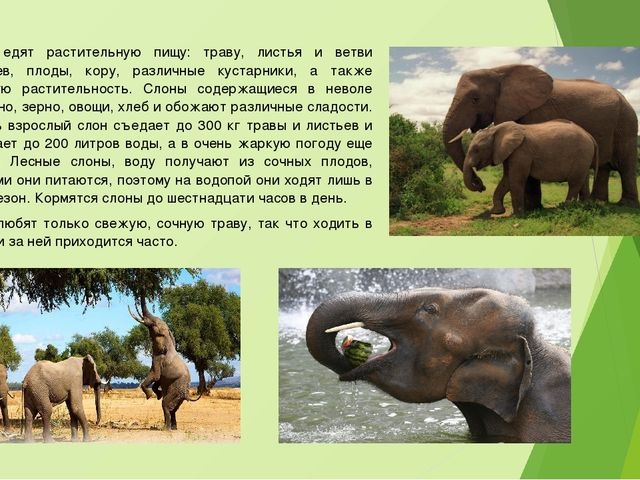 Слоны едят растительную пищу: траву, листья и ветви деревьев, плоды, кору, ра...