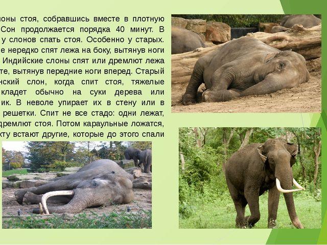Спят слоны стоя, собравшись вместе в плотную группу. Сон продолжается порядка...