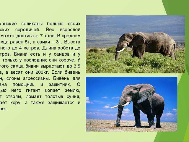 Африканские великаны больше своих индийских сородичей. Вес взрослой особи мож...
