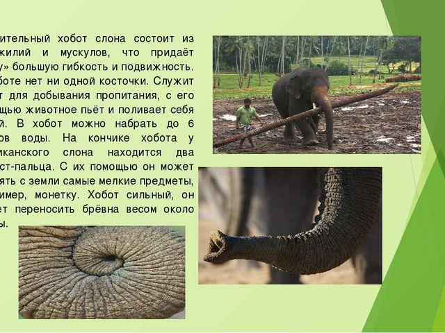 Удивительный хобот слона состоит из сухожилий и мускулов, что придаёт «носу»...