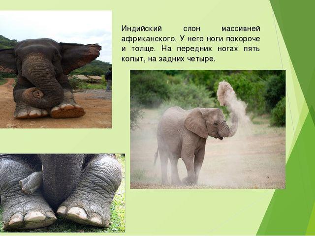 Индийский слон массивней африканского. У него ноги покороче и толще. На перед...