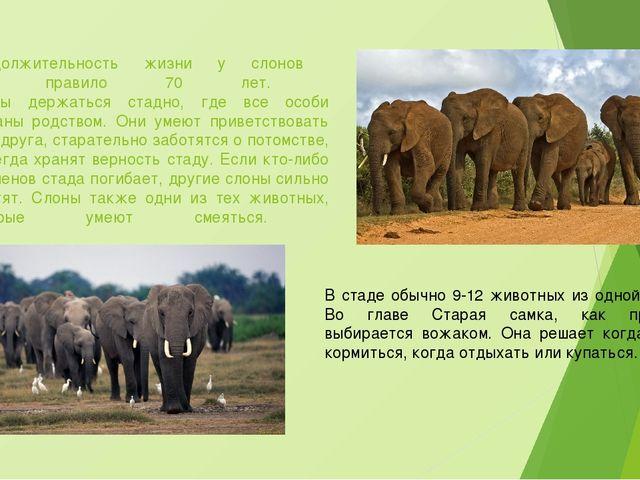 Продолжительность жизни у слонов как правило 70 лет. Слоны держаться стадно,...