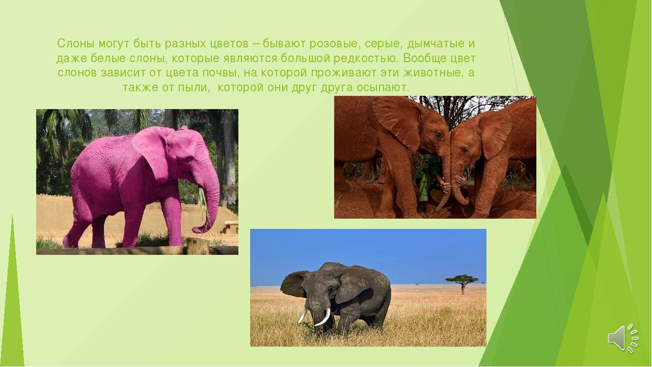 Слоны могут быть разных цветов – бывают розовые, серые, дымчатые и даже белые...