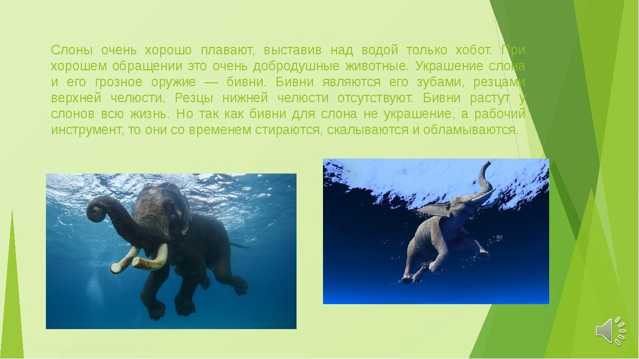 Слоны очень хорошо плавают, выставив над водой только хобот. При хорошем обра...