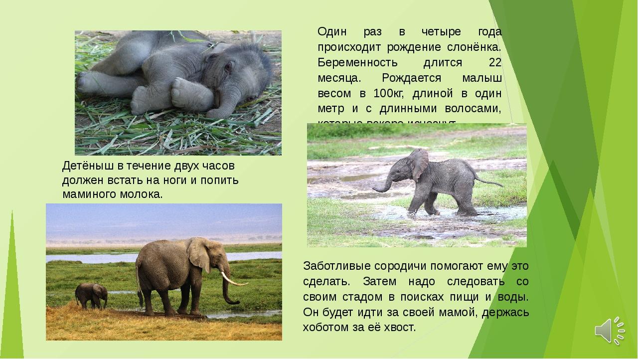 Один раз в четыре года происходит рождение слонёнка. Беременность длится 22 м...