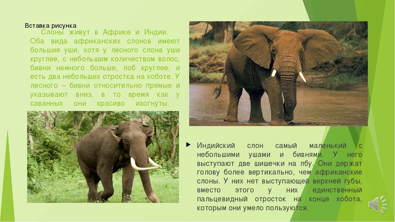 Слоны живут в Африке и Индии. Оба вида африканских слонов имеют большие уши,...