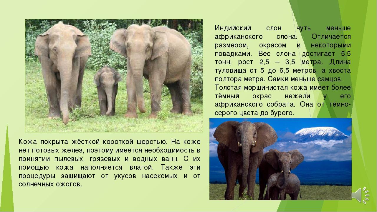 Индийский слон чуть меньше африканского слона. Отличается размером, окрасом и...