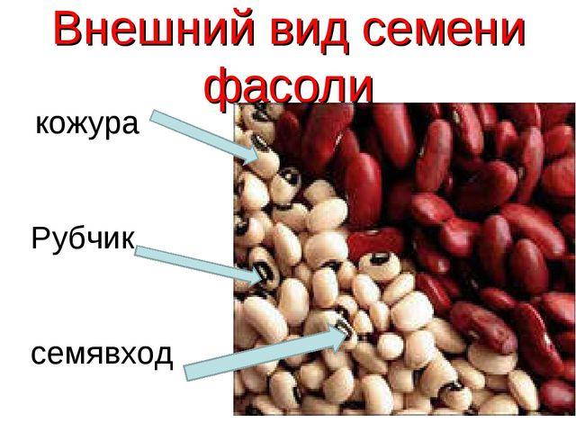 Внешний вид семени фасоли кожура Рубчик семявход