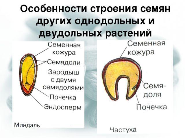 Особенности строения семян других однодольных и двудольных растений