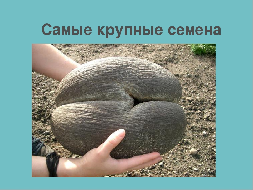 Самые крупные семена