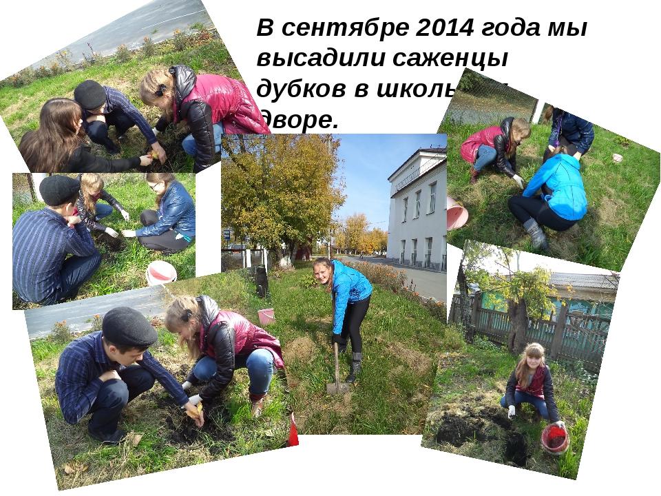 В сентябре 2014 года мы высадили саженцы дубков в школьном дворе.