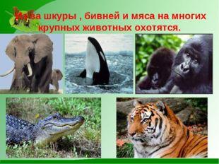 Из-за шкуры , бивней и мяса на многих крупных животных охотятся.
