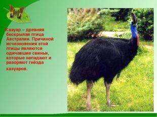 Казуар – древняя бескрылая птица Австралии. Причиной исчезновения этой птицы