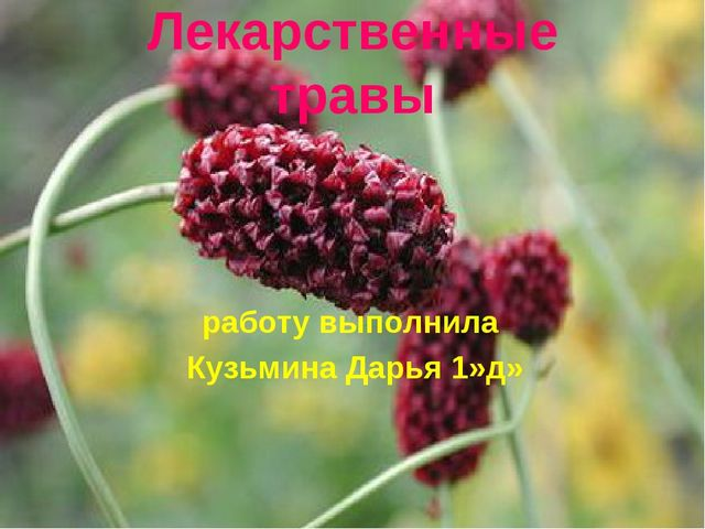 Лекарственные травы работу выполнила Кузьмина Дарья 1»д»