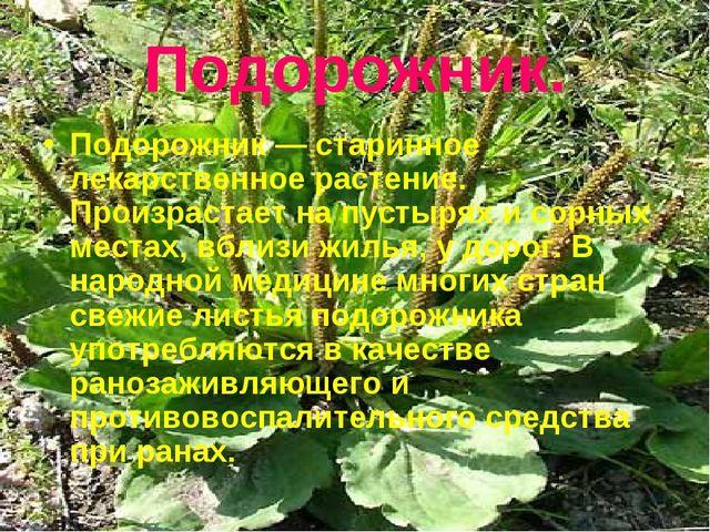 Подорожник. Подорожник — старинное лекарственное растение. Произрастает на пу...