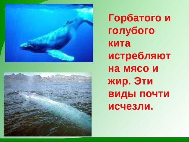 Горбатого и голубого кита истребляют на мясо и жир. Эти виды почти исчезли.