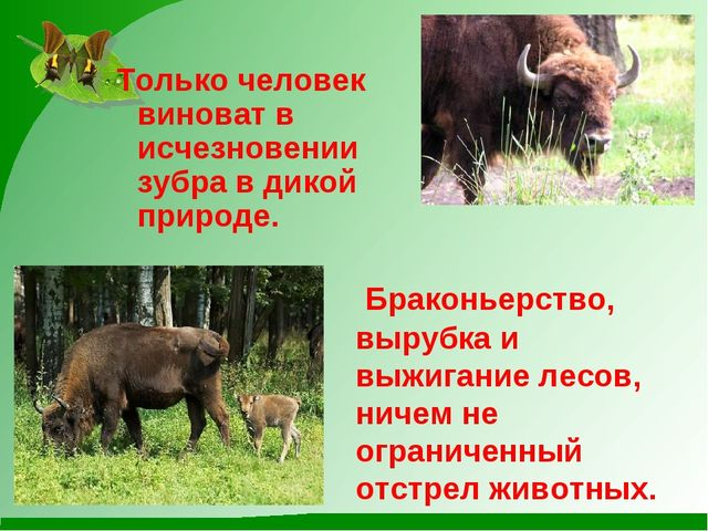 Только человек виноват в исчезновении зубра в дикой природе. Браконьерство, в...