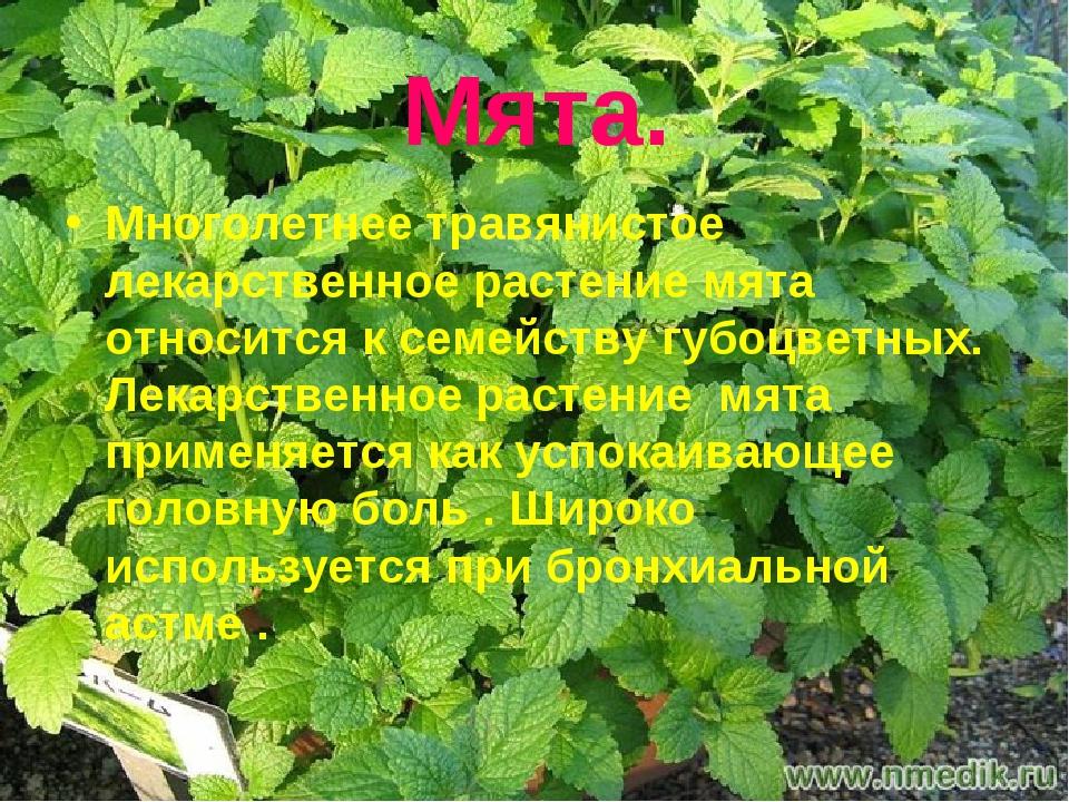 Мята. Многолетнее травянистое лекарственное растение мята относится к семейст...