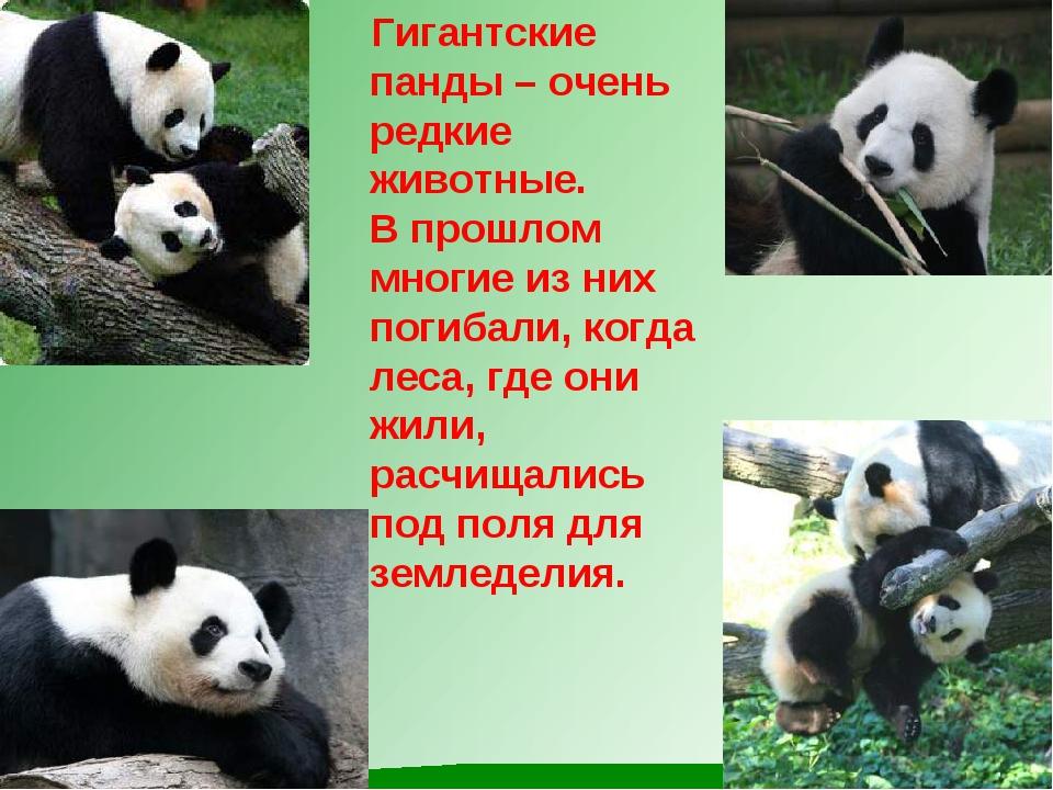 Гигантские панды – очень редкие животные. В прошлом многие из них погибали,...