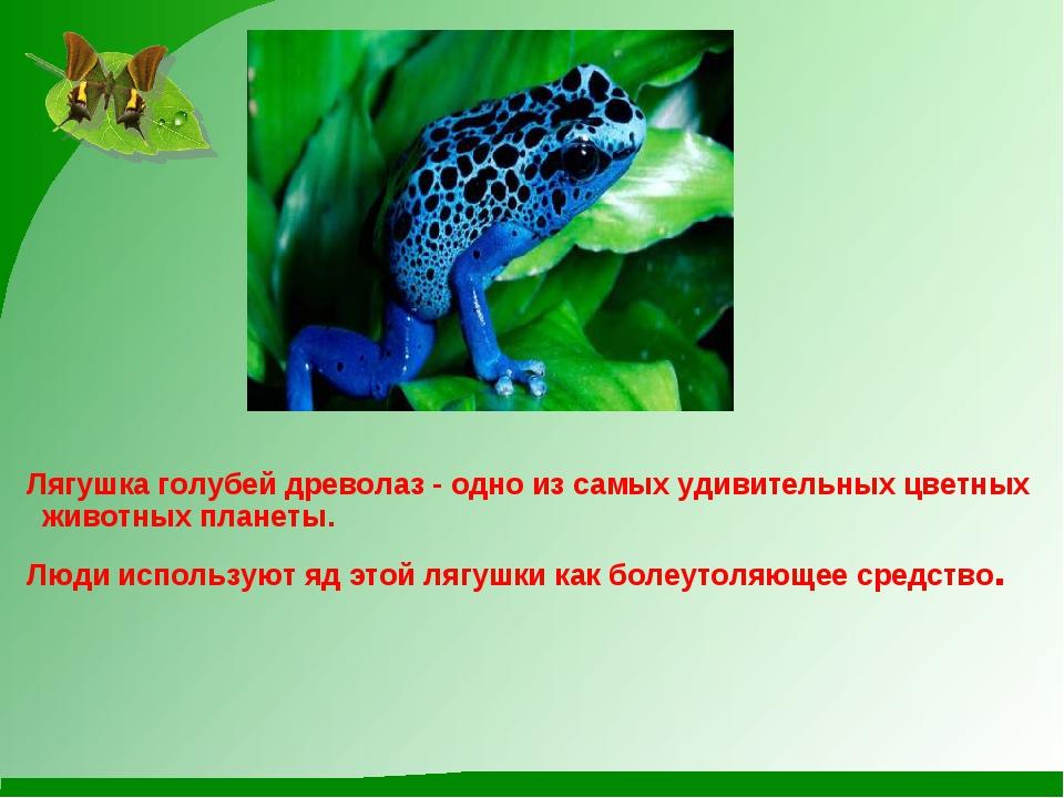 Лягушка голубей древолаз - одно из самых удивительных цветных животных плане...