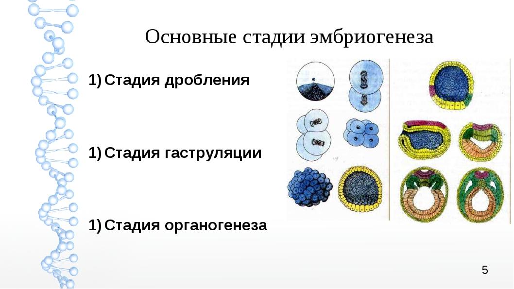 Основные стадии эмбриогенеза Стадия дробления Стадия гаструляции Стадия ор...