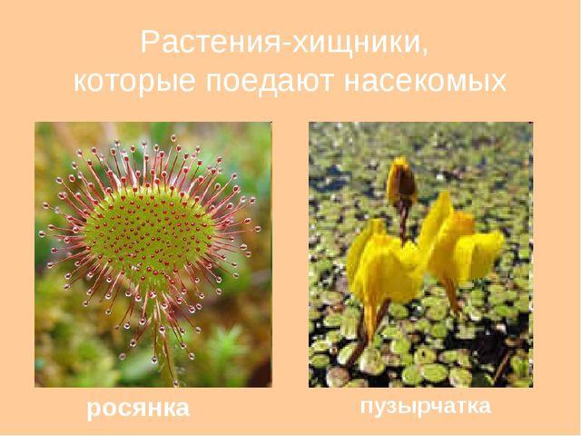 Растения-хищники, которые поедают насекомых росянка пузырчатка