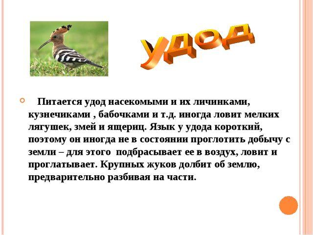 Питается удод насекомыми и их личинками, кузнечиками , бабочками и т.д. иног...