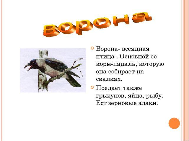 Ворона- всеядная птица . Основной ее корм-падаль, которую она собирает на сва...
