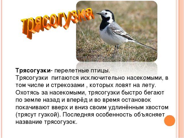 Трясогузки- перелетные птицы. Трясогузки питаются исключительно насекомыми,...