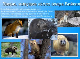 Звери, живущие около озера Байкал В прибайкальской тайге можно встретить мног