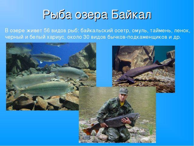 Рыба озера Байкал В озере живет 56 видов рыб: байкальский осетр, омуль, тайме...