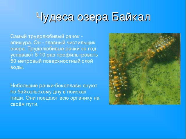Чудеса озера Байкал Самый трудолюбивый рачок - эпишура. Он - главный чистильщ...