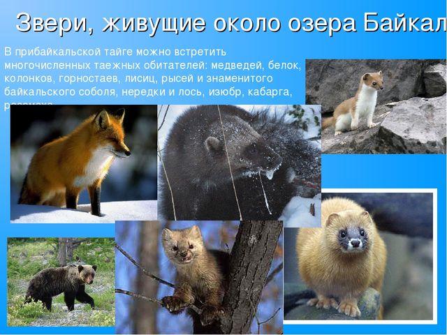 Звери, живущие около озера Байкал В прибайкальской тайге можно встретить мног...