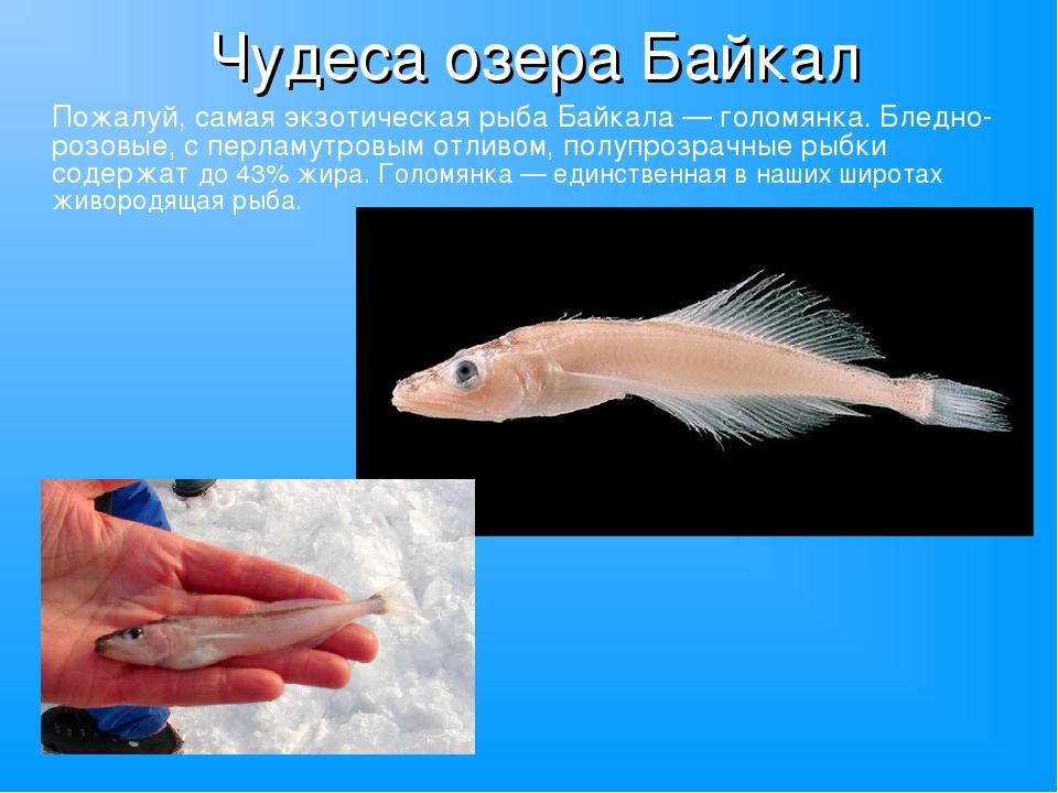 Чудеса озера Байкал Пожалуй, самая экзотическая рыба Байкала — голомянка. Бле...