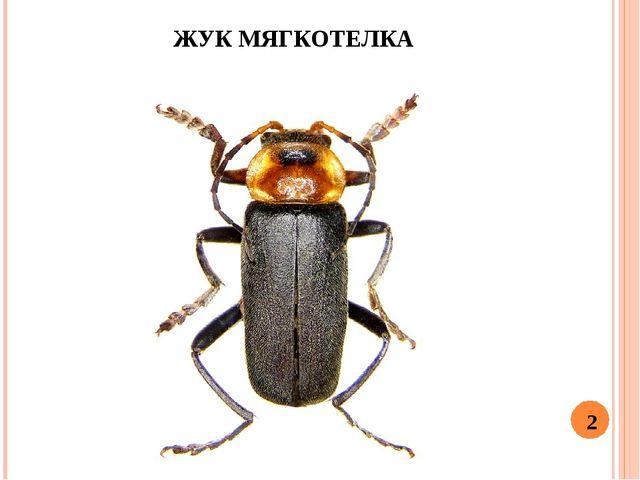 ЖУК МЯГКОТЕЛКА 2