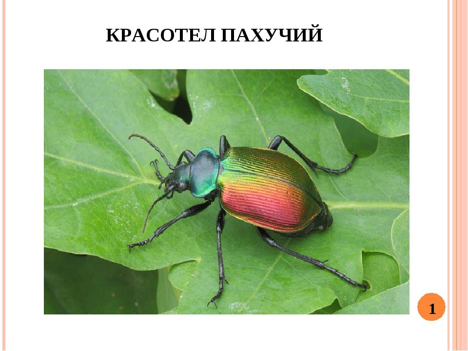 КРАСОТЕЛ ПАХУЧИЙ 1