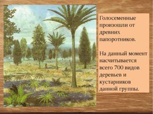 Голосеменные произошли от древних папоротников. На данный момент насчитываетс