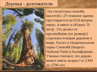 Деревья - долгожители Эта гигантская секвойя, высотой с 27-этажное здание, пр