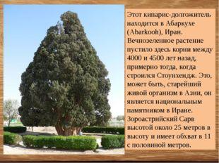 Этот кипарис-долгожитель находится в Абаркухе (Abarkooh), Иран. Вечнозеленное