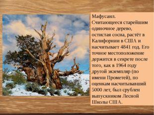 Мафусаил. Считающееся старейшим одиночное дерево, остистая сосна, растёт в К