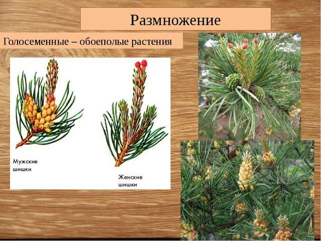 Размножение Голосеменные – обоеполые растения